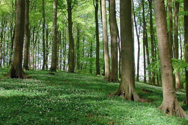 buchenwald-nationalpark-jasmund-insel-ruegen-ferienwohnungen